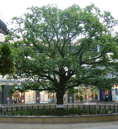 White Band around the Oak Tree in Midsummer Place for MAKE POVERTY HISTORY